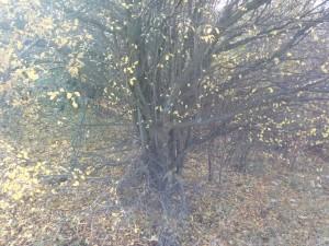Un alt marcaj pe copaci